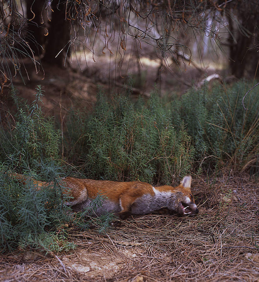 Fox, from the series After the crow flies by Sonal Kantaria